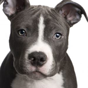 partners thinking about living together with pit bull dog